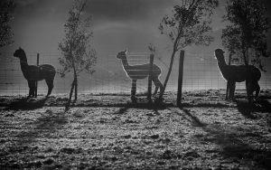 Alpacas-1_0069web