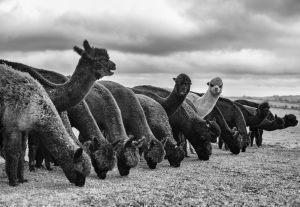 Alpacas-3_0010web