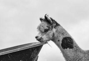 Alpacas-3_0141web