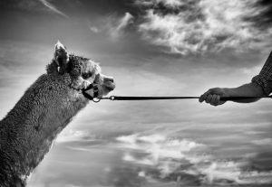Alpacas-4_0123web